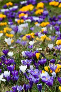 Crocus-In-Grass2