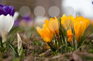 Crocus-In-Grass3