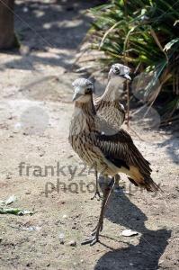 Curlew-pair