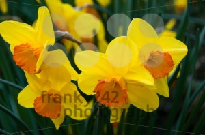 Daffodils-in-Spring