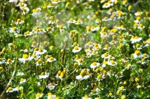 Daisy-flowers