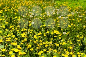 Dandelion Field - franky242 photography