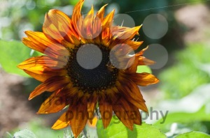 Dark-fiery-sunflower