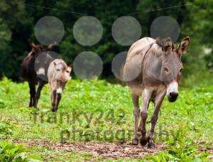 Donkey-Family