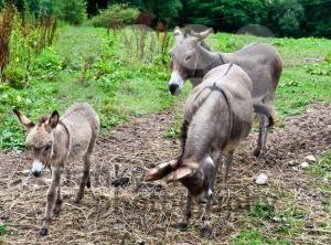 Donkey-Family1