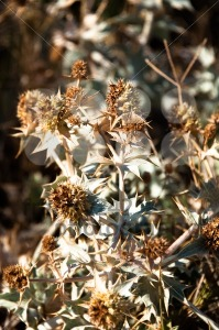 Dried Thistle - franky242 photography