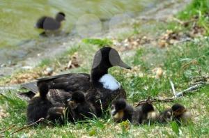 Duck-family1