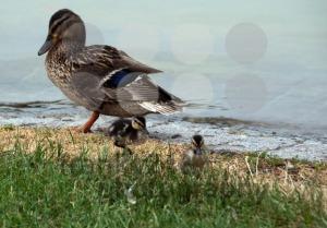 Duck-family2