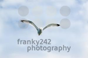 European Herring Gull - franky242 photography