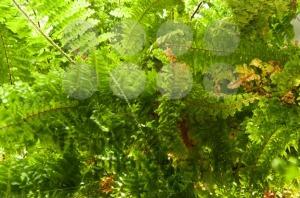 Fern-Plant-in-Sunlight