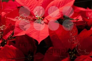 Festive Poinsettia - franky242 photography