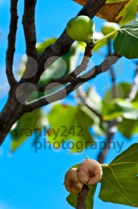 Fig-fruits-on-tree