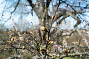 First-spring-buds1