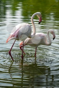 Flamingo-Couple
