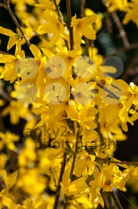 Forsythia - franky242 photography