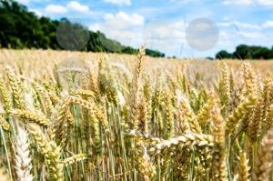 Fresh wheat - franky242 photography