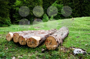 Freshly-cut-tree-logs