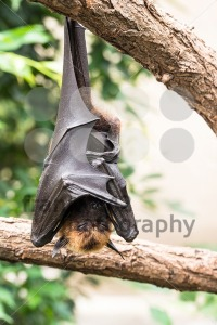 Fruit bat sleeping - franky242 photography
