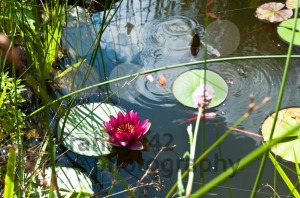 Garden-pond-with-lily-flower-and-Kois