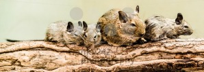 Gerbils family - franky242 photography