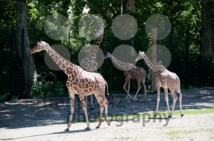 Giraffes - franky242 photography