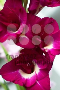 Gladiolus Priscilla. Pink gladiolus - franky242 photography