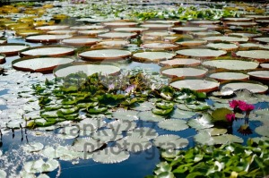 Gorgeous water lilies - franky242 photography