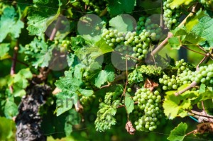 Grapes-in-a-wine-yard