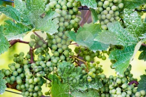 Grapes-in-a-wine-yard1