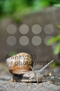 Grapewine-snail-on-pavement