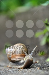 Grapewine-snail-on-pavement1