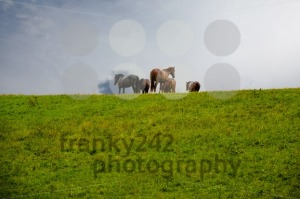 Grazing-horses-on-the-hill-in-rain