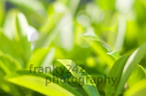 Green Leaves Background - franky242 photography