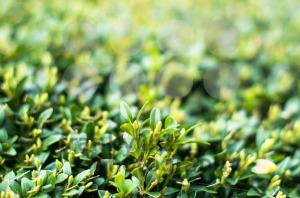 Green Leaves On Branches Of Buxus In Summer - franky242 photography