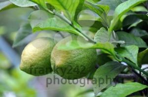 Green-Lemons