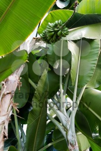 Green bananas on a tree - franky242 photography