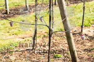 Growing apples in the orchard - franky242 photography