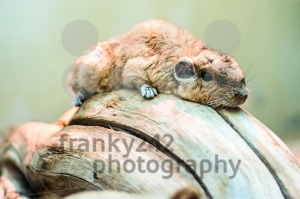 Gundi or comb rat - franky242 photography