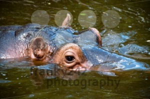 Happy Hippo Portrait - franky242 photography