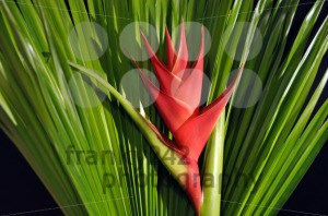 Heliconia-Caribea