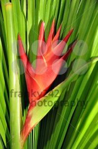 Heliconia-Caribea2