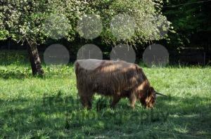 Highland-cow-2