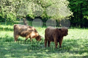 Highland-cows-1