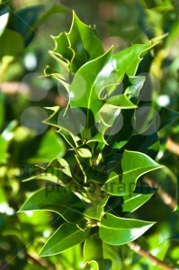 Holly-bush