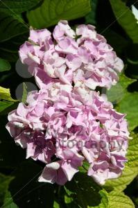 Hortensia-flower