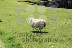 Lamb running quickly over a green field - franky242 photography