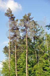 Large-pine-trees