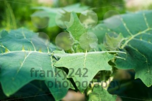 Leaves with thorns - franky242 photography