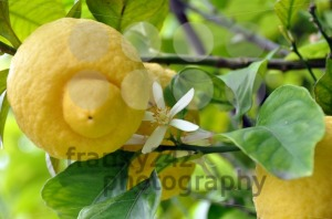 Lemon-Fruits-and-Blossom-1