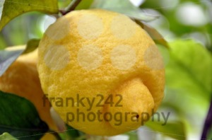 Lemon-Tree-1